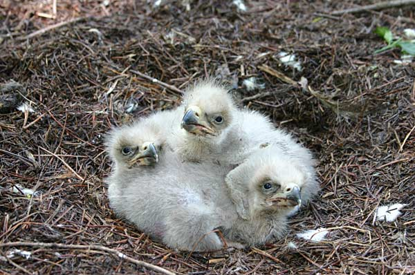 Eaglets Hatch